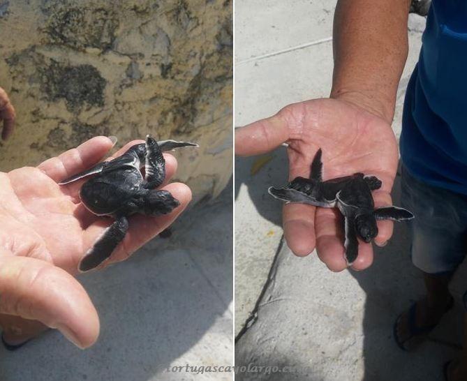 Rara especie de tortuga siamesa nace en cayo largo del sur