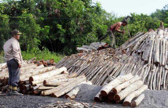 Carboneros de villa calra producen cientos de toneladas para la exportación