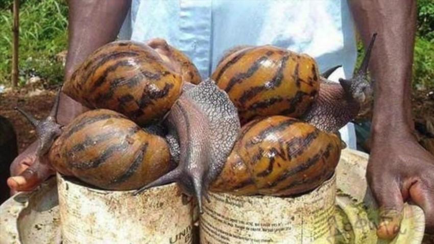 Caracol africano invade cuba con peligrosas enfermedades
