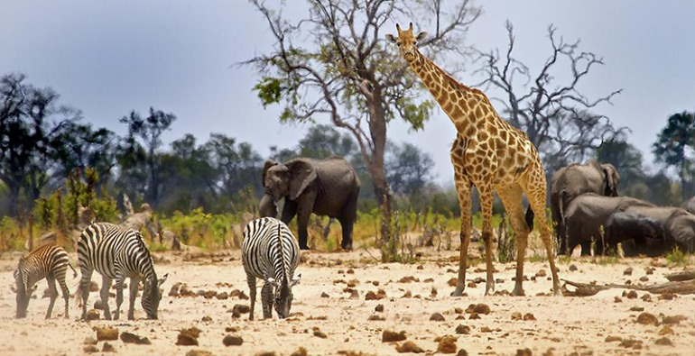 El elefante africano solo llega a dormir 2 horas diarias
