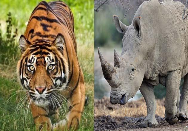 Tigre y rinoceronte