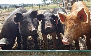 Cerdos criollos